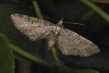 Common Eupithecia (7474)