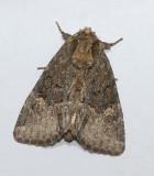 Turbulent Phosphila (9618)