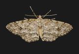 Stenoporpia pulmonaria (6463)