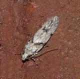 Stripe-backed Moth (1851)