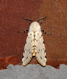 Salt Marsh Moth (8131)