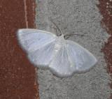 White Spring Moth (6667)