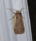 Flame-shouldered Dart Moth (10891)