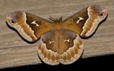 Promethea Moth (7764)