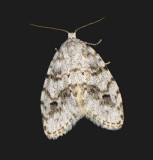 Little White Lichen Moth (8098)