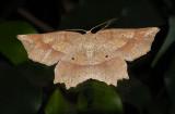 Deep Yellow Euchlaena Moth (6733)