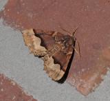 Honest Pero Moth (6753)