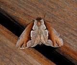 Double-toothed Prominent Moth (7929)