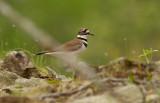 Killdeer over nesting site