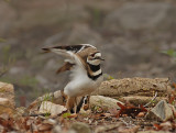 Killdeer feigning injury to protect her nesting site