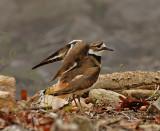 Killdeer near nesting site