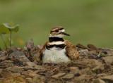 Killdeer on Nesting Site