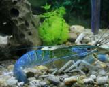 Shrimp_Phuket_0296.jpg