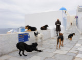 Santorini. All the Oia dogs