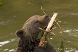 brown Bear (ursus arctos )