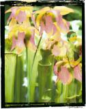 Ballet in Bog Flower