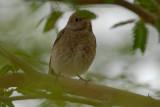Redstart ssp. samamisicus?