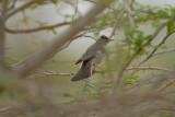 Upcher´s Warbler (Hippolais longuida)