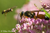 Great Golden Digger Wasp & Weevil Wasp