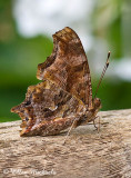 Eastern Comma Butterfly