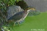Green Heron (juvenile)