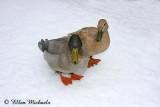 Mallard Ducks (hybrid)