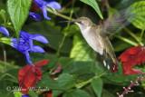 Central Park Hummingbirds