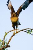Red-tailed Hawk taking off