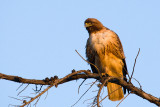 Red-tailed Hawk with feather in mouth