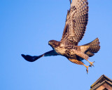 Red-tailed Hawks in Half Moon Bay, October 2007