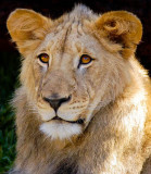 Izu as Young Adult Male Lion
