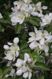 11. Apple blossoms.