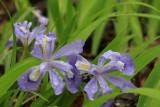 6.  Dwarf Crested Iris.  Beautiful