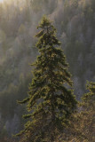 5.   A lonely, backlit fir.