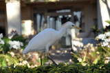 A cattle Egret at the resort