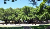 The famous Lahaina banyan tree