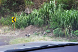 Why did the Red Junglefowl cross the road?