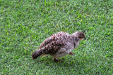 A Gray Francolin grazes for morsels