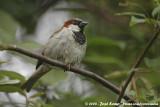 House SparrowPasser domesticus domesticus
