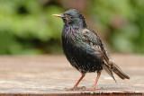 Common StarlingSturnus vulgaris vulgaris