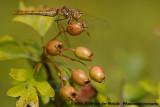 Vagrant Darter  (Steenrode Heidelibel)