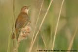 Grassbirds and allies  (Sprinkhaanzangers)