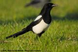 Eurasian Magpie  (Ekster)