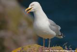 European Herring GullLarus argentatus argenteus