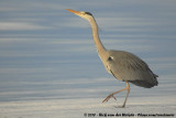 Herons and Bitterns  (Reigers)
