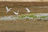 Little Tern  (Dwergstern)
