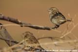 House SparrowPasser domesticus tingitanus