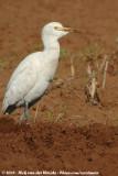 Western Cattle EgretBubulcus ibis