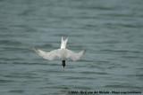 Common Tern  (Visdief)