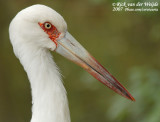 Magoeari / Maguari Stork